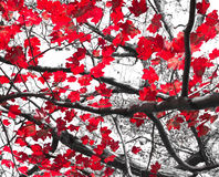 Feuilles rouges d'automne sur noir et blanc Photographie stock