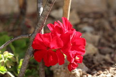 Feuilles rouges de lierre de fleur de géranium Image stock