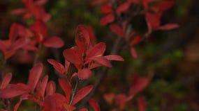 Feuilles rouges de myrtille de marais Autumn Colours photos libres de droits