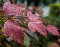 Feuilles rouges de plan rapproché de viburnum, feuilles d'automne Images stock