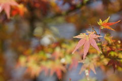 Feuilles rouges de vert en automne Images libres de droits