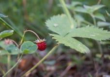 Feuilles rouges de vert de petit morceau de fraisier commun photos libres de droits