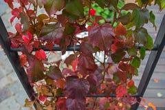 Feuilles rouges des raisins sauvages tissant sur une voûte en métal photo stock