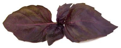 Feuilles rouges fraîches d'herbe de basilic d'isolement sur le fond blanc Purpl Image stock