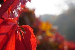 Feuilles rouges jaunes colorées par automne avec le fond de bokeh de tache floue images stock