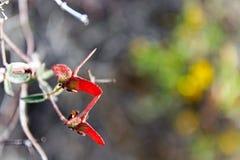 Feuilles rouges, parc national de Saguaro Images stock