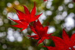 Feuilles rouges, Queenswood, Herefordshire Photographie stock
