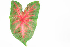 Feuilles rouges vertes de caladium d'isolement sur le fond blanc Photographie stock libre de droits