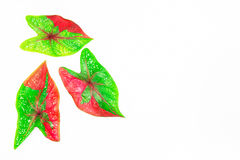 Feuilles rouges vertes de caladium d'isolement sur le fond blanc Images stock