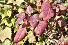 Feuilles rougies de groseille d'automne sur Bush Image libre de droits