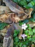 Feuilles sèches d'eucalymtus trouvées pour les raisons photos stock