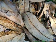 Feuilles sèches d'eucalymtus trouvées pour les raisons images stock