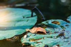 Feuilles sèches dans l'étang Photos stock
