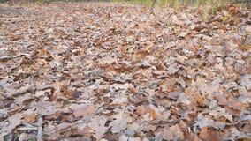 Feuilles sèches de chêne au sol banque de vidéos