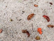 Feuilles sèches de ramboutan photos libres de droits