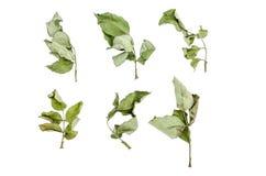 Feuilles sèches de Rosesl réglées d'isolement sur le blanc : Chemin de coupure Photo stock