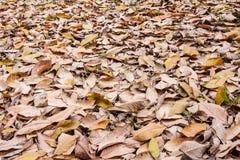 Feuilles sèches en caoutchouc Photographie stock libre de droits