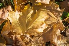 Feuilles sèches jaunes d'érable au sol Image libre de droits