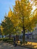 Feuilles sèches non identifiées de champs de décapant de femme sous des arbres de biloba de ginkgo pendant l'automne dans Hyogo H photo stock