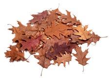 Feuilles sèches par automne de chêne Photos stock