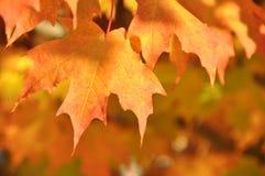 Feuilles s'égouttant avec la couleur orange Photo stock