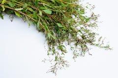 Feuilles sauvages fraîches de légume Photographie stock libre de droits