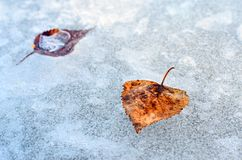 Feuilles sur la glace. Image stock