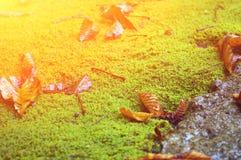 Feuilles sur la mousse verte Photographie stock libre de droits