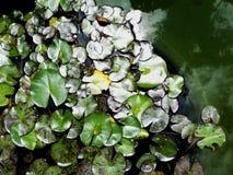 Feuilles sur le dessus d'un lac à la maison images libres de droits