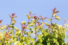 Feuilles sur un arbre contre le ciel bleu Photographie stock
