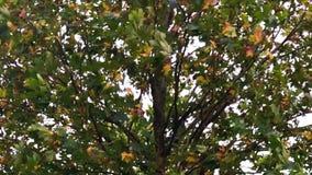 Feuilles sur un arbre secouant dans la brise banque de vidéos