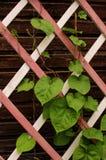 Feuilles sur un trellis en bois Photo stock