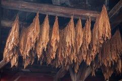 Feuilles suspendues de tabac dans la grange photo stock
