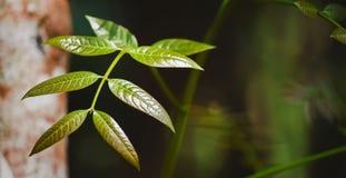 Feuilles tendres de macrophylla de Swietenia image libre de droits