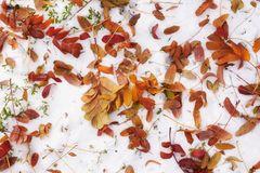 Feuilles tombées au sol avec le flocon de neige Feuillage vif de couleur orange et jaune Fond d'automne images libres de droits