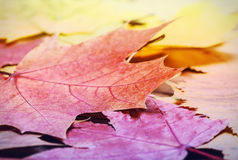 Feuilles tombées d'érable d'automne Photo libre de droits