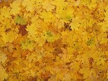 Feuilles tombées d'érable dans la forêt d'automne Photographie stock libre de droits