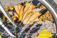 Feuilles tombées d'érable entre la roue de bicyclette spoked image stock