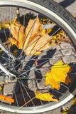 Feuilles tombées d'érable entre la roue de bicyclette spoked image libre de droits