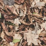 Feuilles tombées de châtaigne, érable, chêne, acacia Brown, rouge, orange et gren Autumn Leaves Background Couleurs douces Photos stock