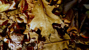 Feuilles tombées de chêne brun Photos stock