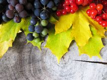 Feuilles tombées jaunes d'érable, groupes de raisins noirs et berr rouge images libres de droits