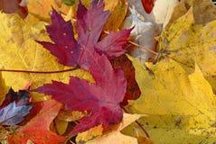 Feuilles tombées rouges jaunes et lumineuses d'or en automne photos libres de droits