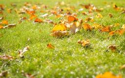 Feuilles tombées sur l'herbe saine, saison d'automne (la couleur a modifié la tonalité I Images libres de droits