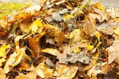 Feuilles tombées, un arbre avec les feuilles jaunes, un automne pluvieux, une feuille humide Photos libres de droits