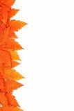 Feuilles tombées par automne orange sur le fond blanc Images libres de droits