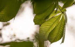 Feuilles translucides rétro-éclairées de vert Photo stock