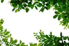 Feuilles tropicales d'arbre avec des branches sur le fond d'isolement blanc photos libres de droits