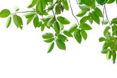 Feuilles tropicales d'arbre avec des branches sur le fond d'isolement blanc image stock