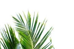 Feuilles tropicales de noix de coco avec des branches et la lumière du soleil sur le fond d'isolement blanc pour le contexte vert photo libre de droits